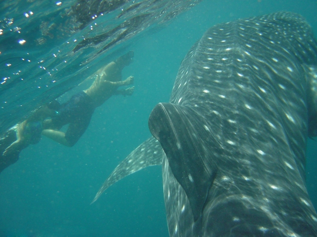 Swim with wondrous whale sharks