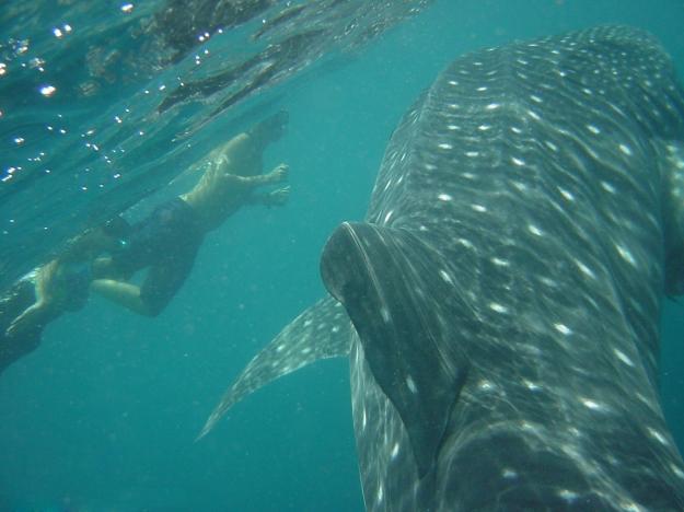 Swim with wondrous whale sharks